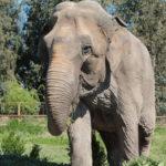 Elefanta Ramba llegará a Brasil tras años de maltrato en circo chileno