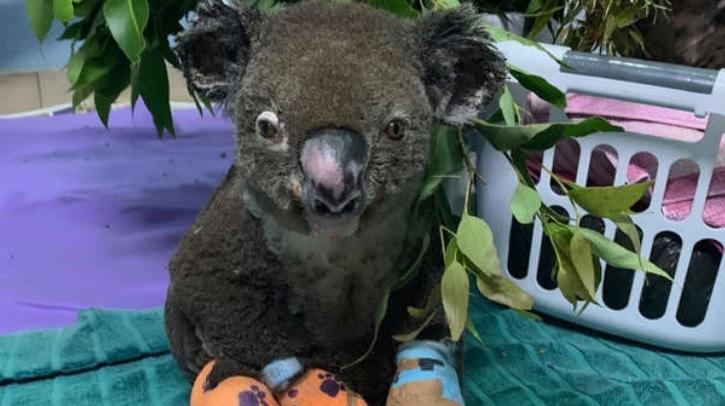 """""""Murió Lewis, el koala que fue rescatado de un incendio en Australia"""""""