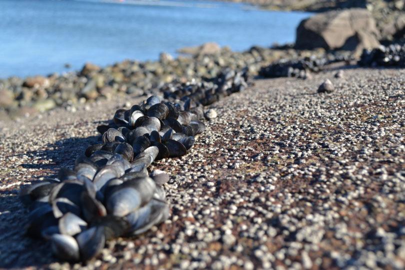 Investigadores chilenos descubren que mejillones son capaces de adaptarse a la acidificación de los océanos