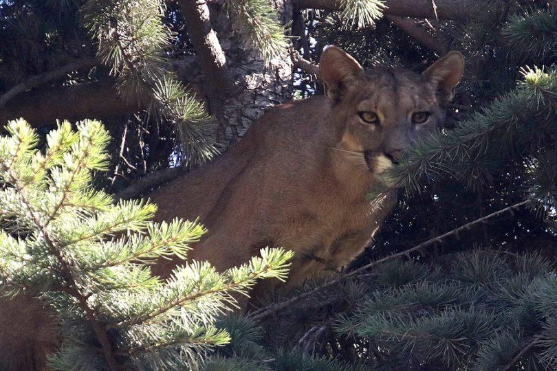 SAG presentó denuncia por muerte de puma rescatado en Lo Barnechea