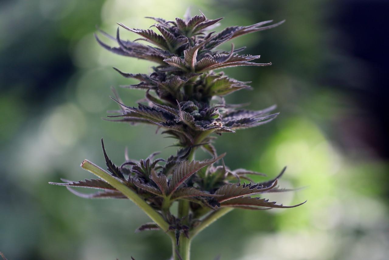 Absuelven a joven que tenía plantas de marihuana en su casa