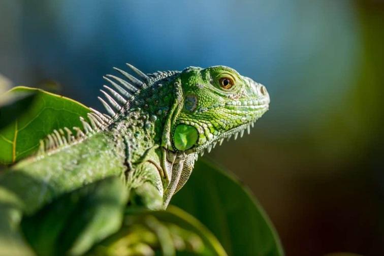 Alerta por iguanas congeladas que caen desde los árboles en Estados Unidos