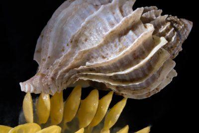 Estudio asegura que caracol trofon podría sobrevivir al cambio climático en Magallanes