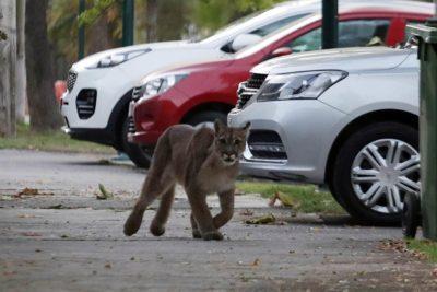 Vecinos reportaron avistamiento de Puma en Providencia y Ñuñoa