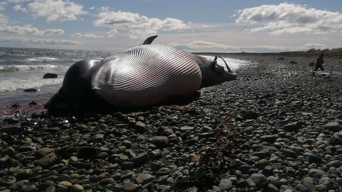 """""""Greenpeace alerta sobre muerte de ballena con presunto arpón en la región de Magallanes"""""""