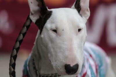 Tenía 80 perros hacinados: sujeto fue detenido por maltrato animal en Peñaflor