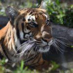 Tigre da positivo por coronavirus en zoológico de Estados Unidos