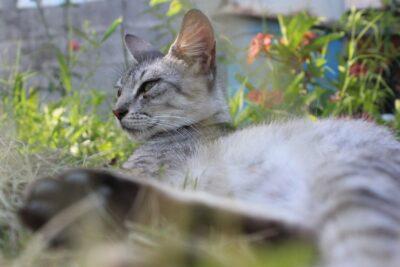 Francia: una gata sobrevivió al COVID-19 tras ser contagiada por sus dueños