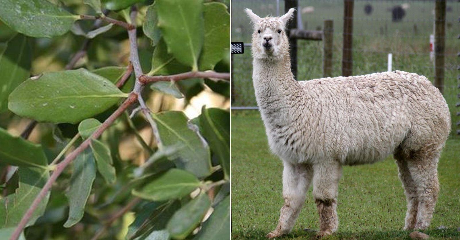 Quillay y alpacas: las claves chilenas en la lucha contra el coronavirus