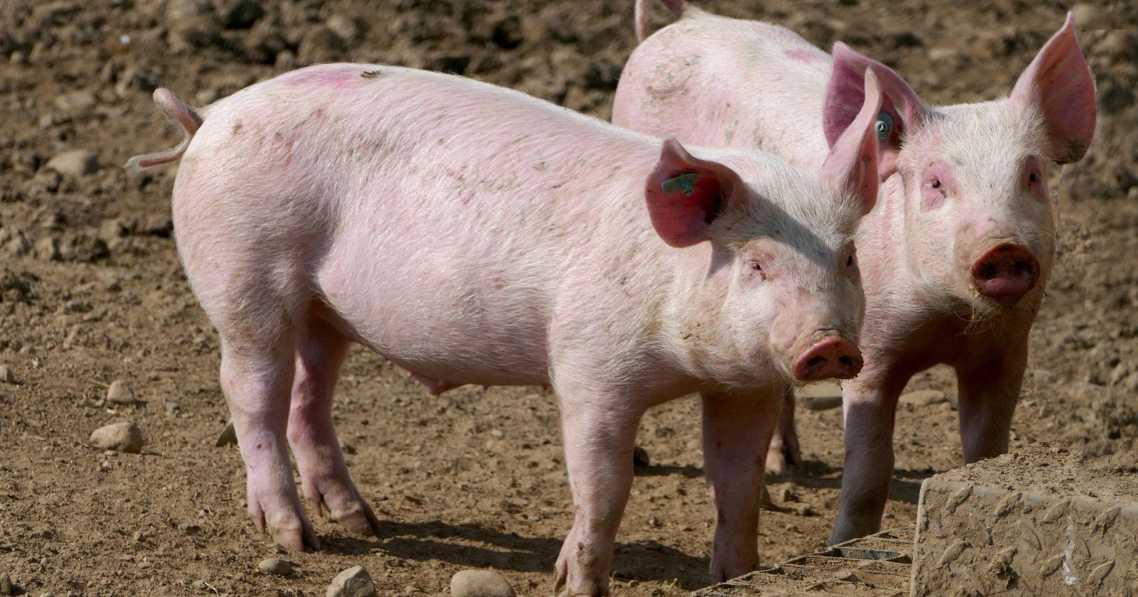 Descubren nuevo virus de la gripe porcina en China con