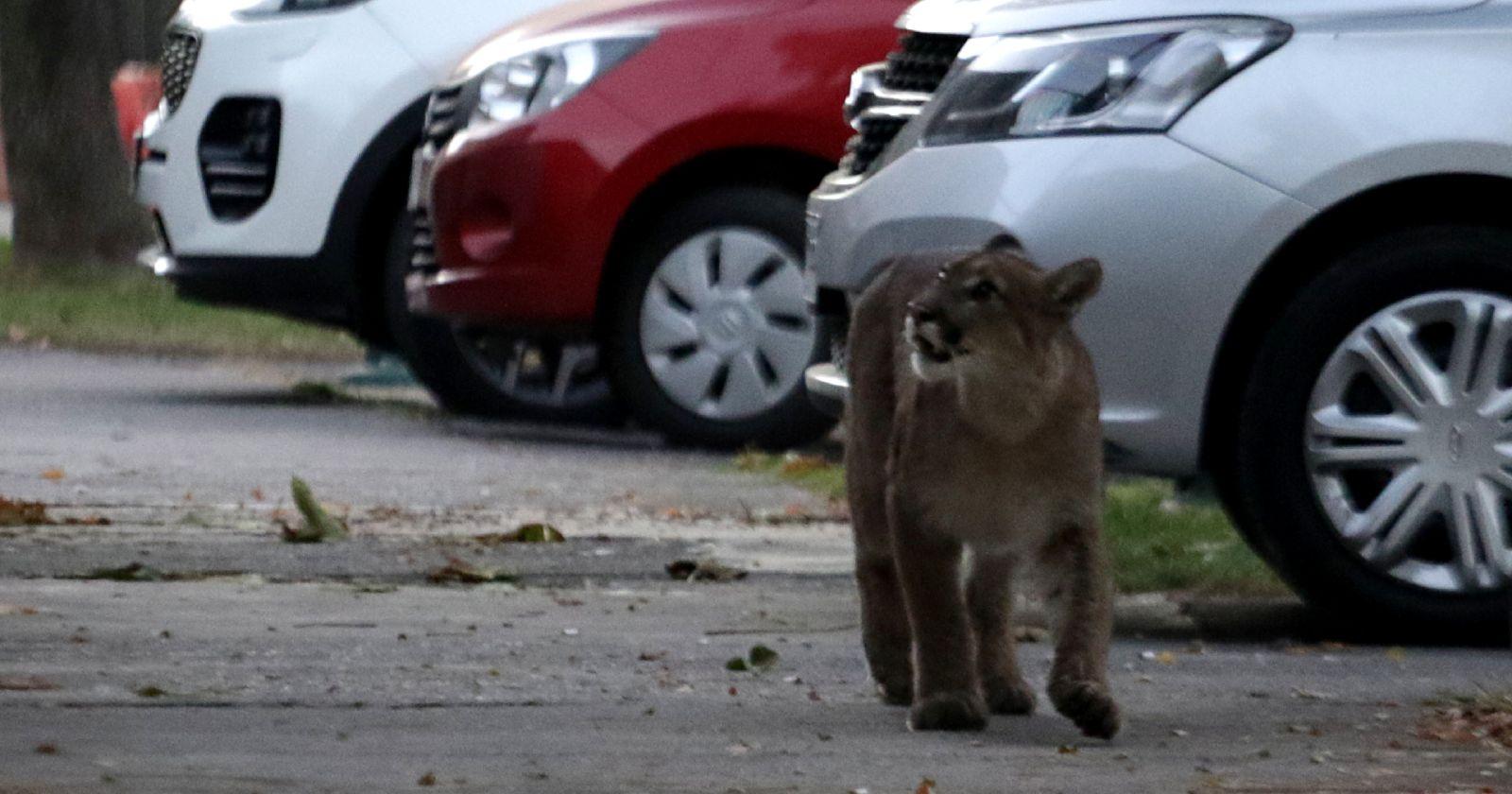 """""""No lo persigan"""": alerta en La Florida por avistamiento de puma"""