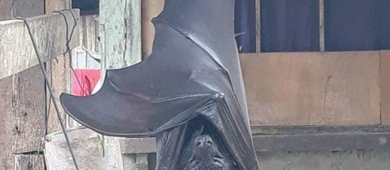 Impactante imagen de murciélago gigante encontrado en Filipinas