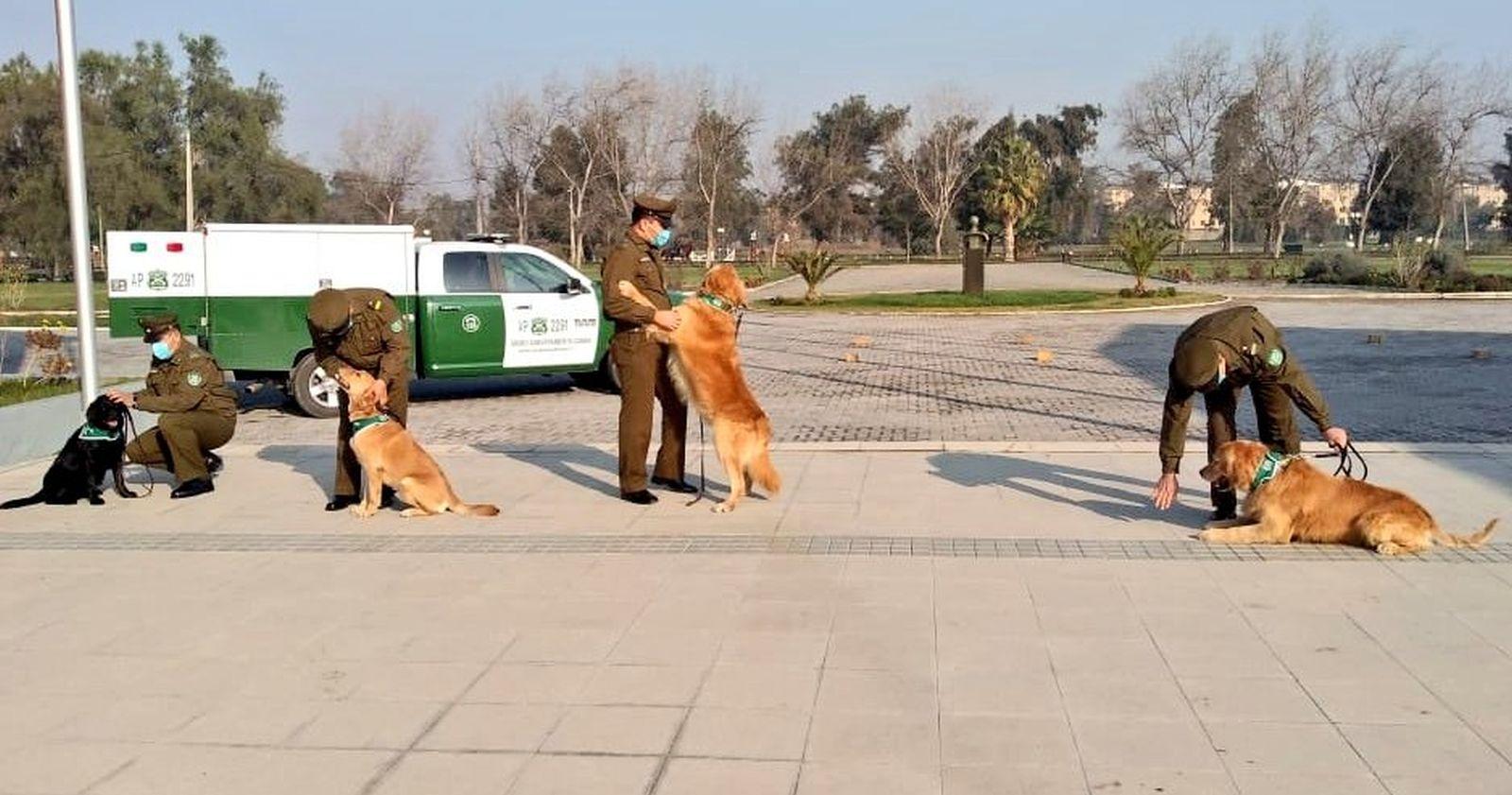 """""""Carabineros entrenará a perros para detectar a personas con COVID-19"""""""
