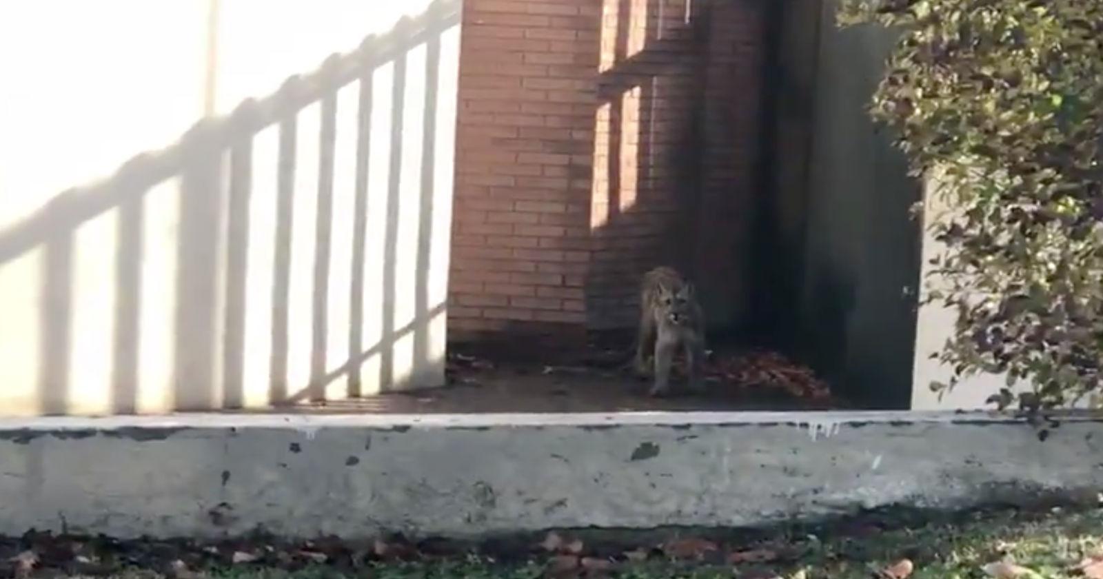 VIDEO   Reportan la presencia de un puma en la comuna de Lo Barnechea