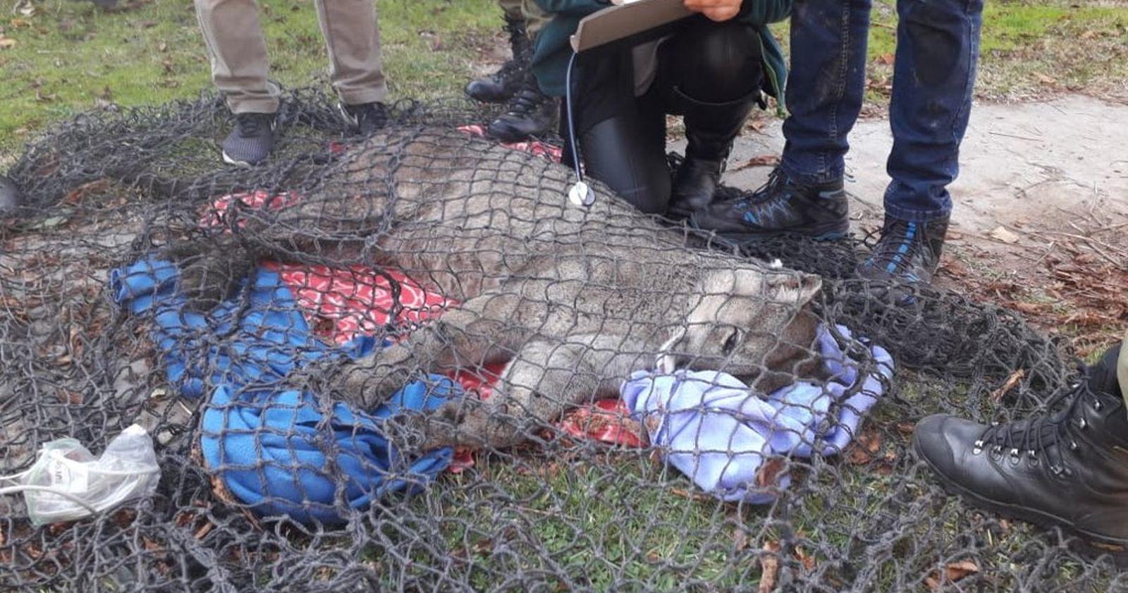 Puma encontrado en Lo Barnechea será trasladado al Zoológico Nacional