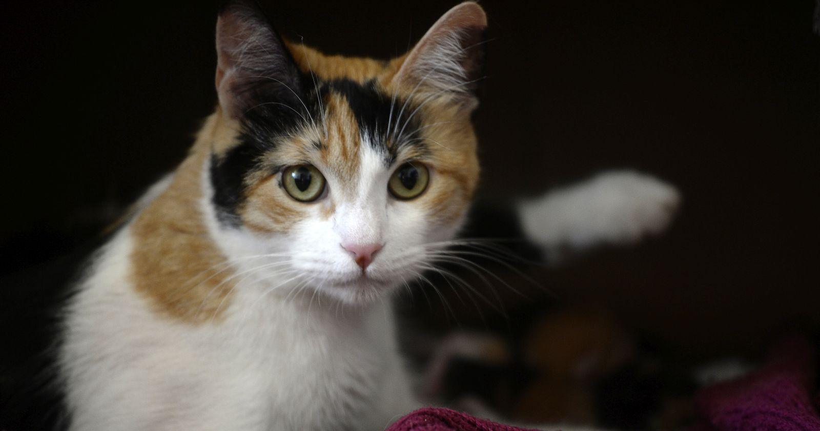Investigación chilena confirma que los gatos pueden contagiarse del coronavirus de sus dueños