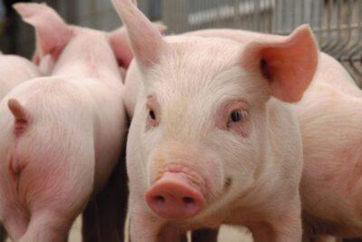 China descubre nuevos casos de peste porcina africana