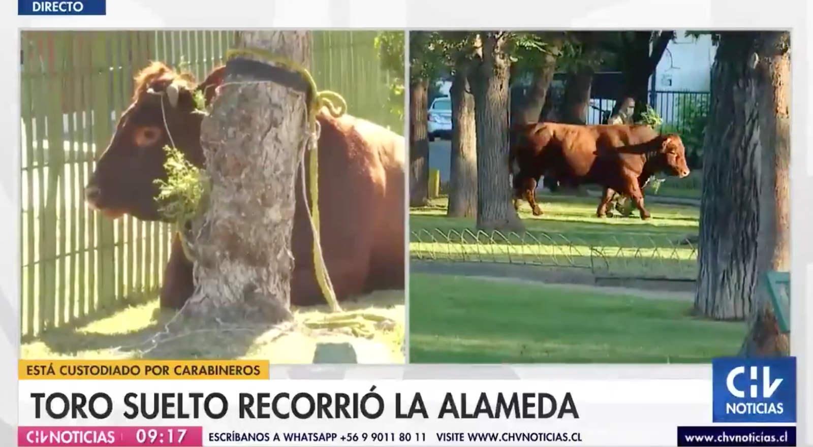 El insólito caso del toro que deambuló por Estación Central