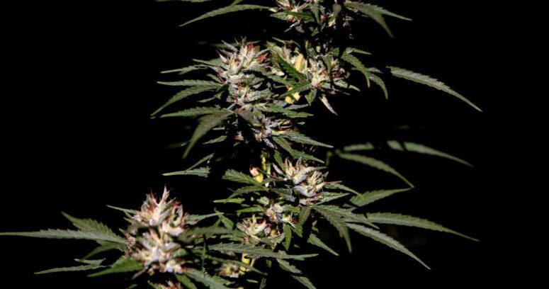 EEUU: votan a favor de la legalización federal de la marihuana