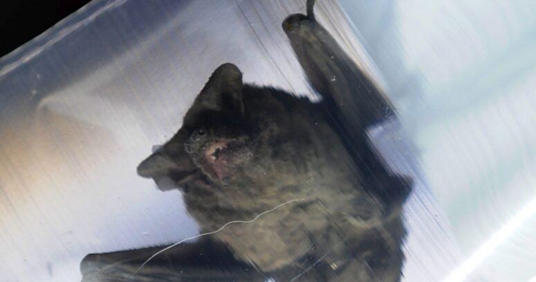 """""""Confirman dos casos positivos de rabia en murciélagos en La Serena"""""""