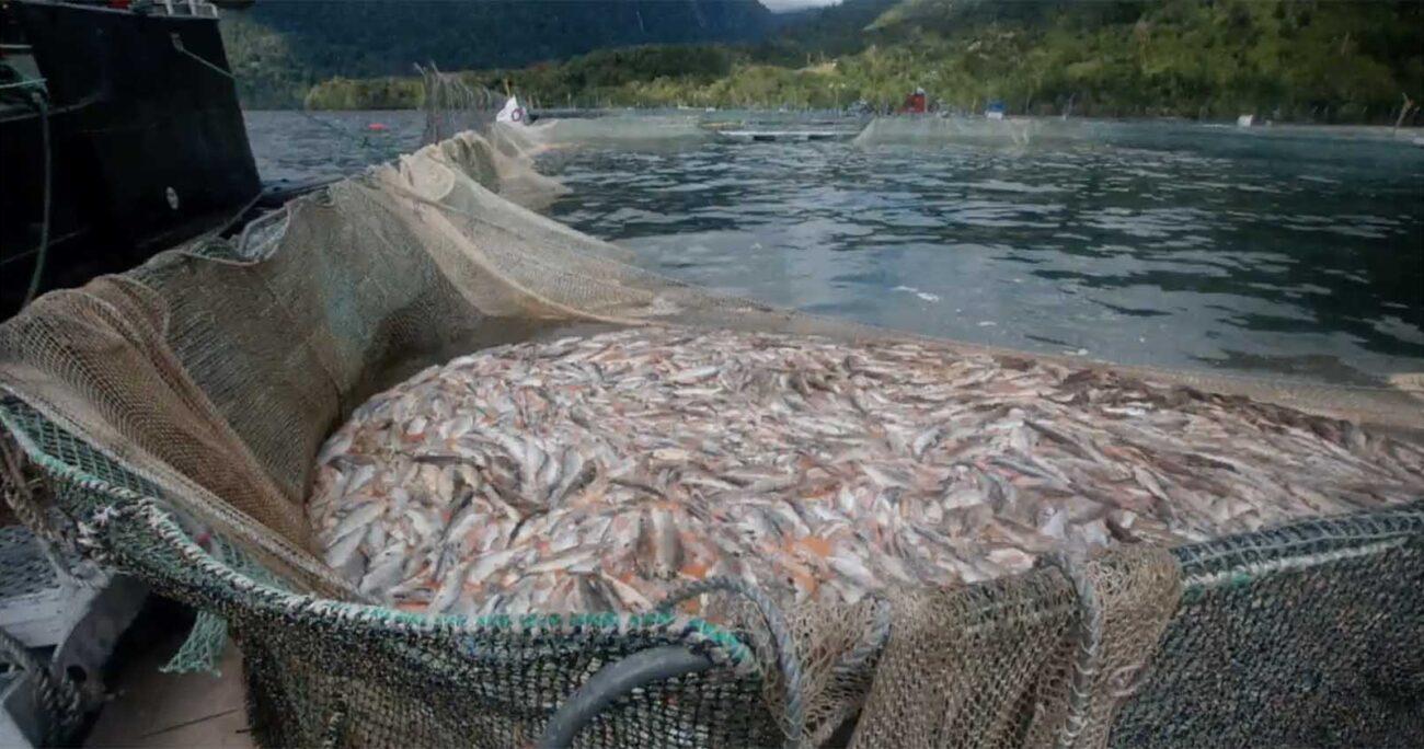 Los peces murieron por los efectos del bloom de algas que afecta las regiones de Los Lagos y Aysén. GREENPEACE