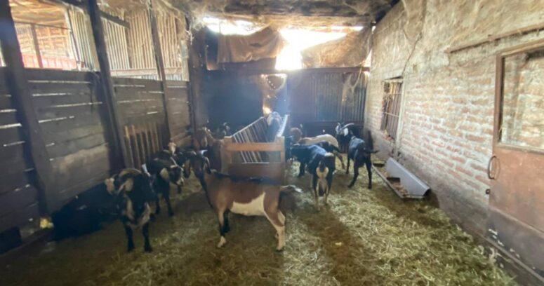 Desbaratan matadero clandestino en La Pintana: faenaban patos, cabras y ovejas