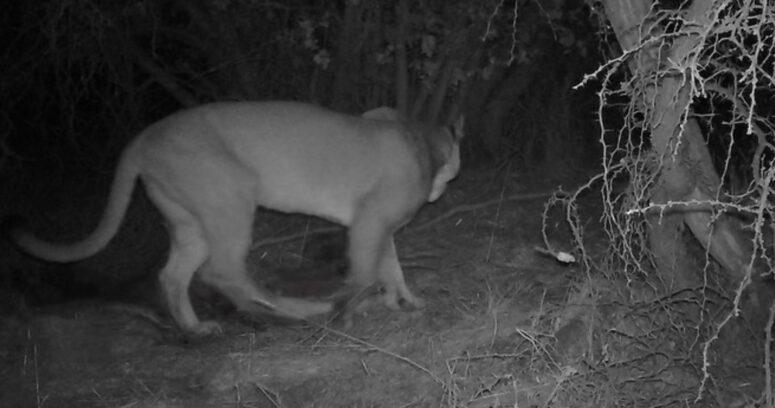 Conaf realiza inédito hallazgo de un puma en la Reserva Nacional Lago Peñuelas