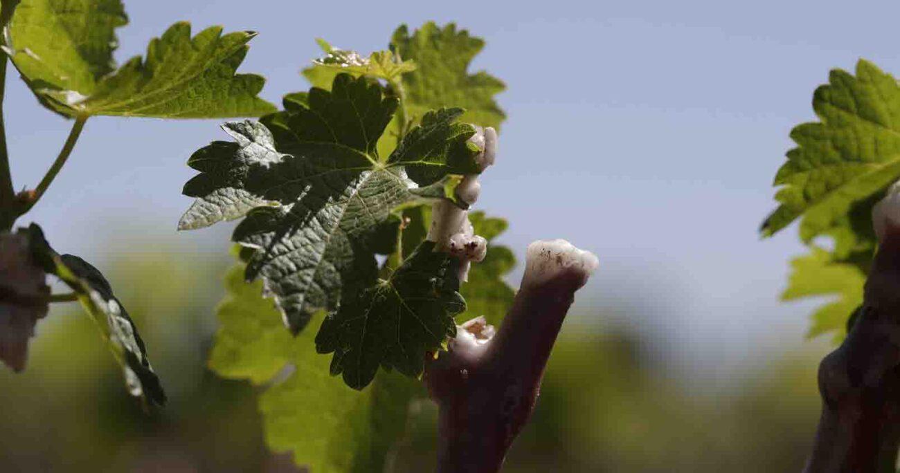 Otro hito es que la viña disminuyó su huella de agua, siendo 48% menor al promedio de la industria vitivinícola mundial. Viña Concha y Toro