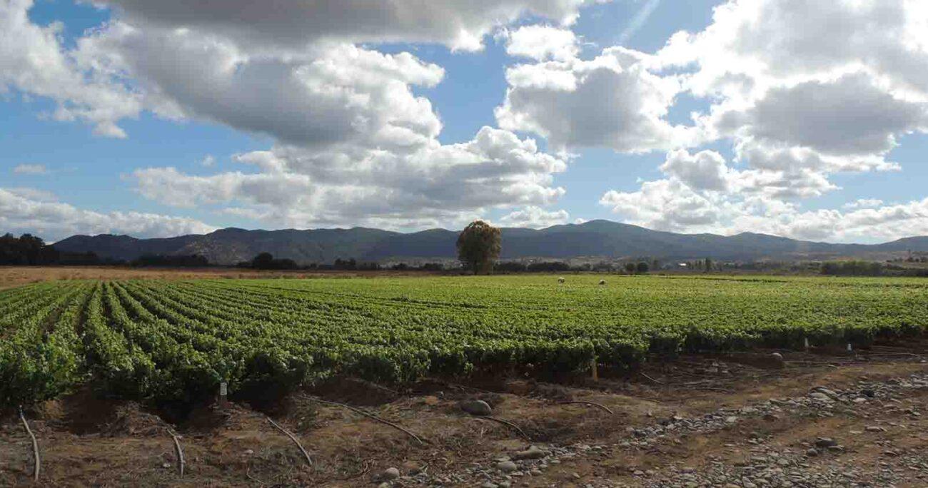 Este convenio permitirá realizar ensayos sobre los beneficios de los hongos para disminuir los residuos químicos de los viñedos. Viña Concha y Toro.