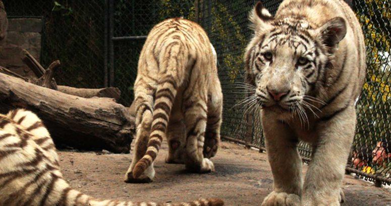 """""""Cuidadora del Parque Safari de Rancagua murió tras quedar atrapada en jaula del tigre"""""""