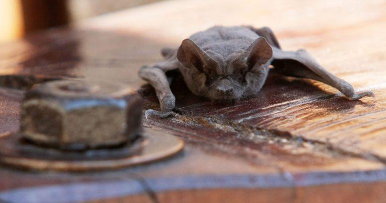 Descubren virus similar al COVID-19 en murciélagos de Laos
