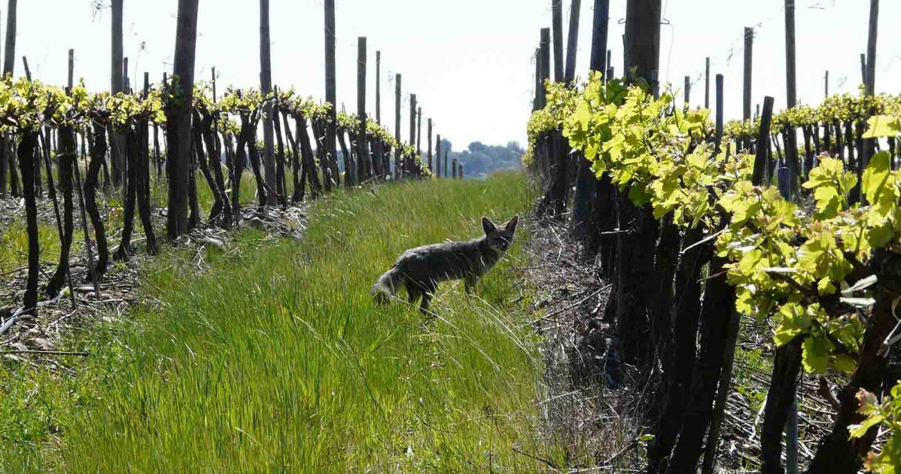 En el Viñedo Ucúquer, Valle del Cachapoal, de la compañía habita el zorro Chilla, especie endémica del país. Viña Concha y Toro.